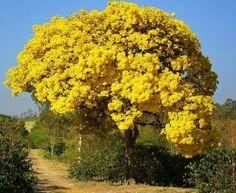 Arvore amarela