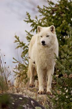 whit wolve http://picawars.blogspot.com
