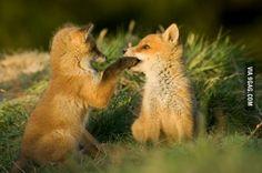 Cute fox kits playing in tall grass. Animals And Pets, Baby Animals, Funny Animals, Cute Animals, Fantastic Fox, Fabulous Fox, Beautiful Creatures, Animals Beautiful, Fennec