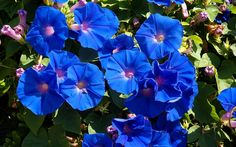 meaning of colour blue | Blue Color Bell flower Wallpaper