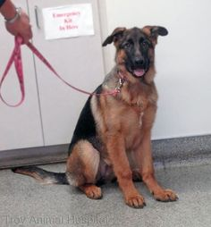 Photo: People have days they can't do anything with their hair, German Shepherd pups have days they can't do anything with their ears. This is Dixie.