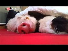 Kitty Gently Pets His Pig Buddy to Sleep image: http://edge.liveleak.com/80281E/u/u/ll2/hd_video_icon.jpg Moritz is one friendly pig who looks after all the ...