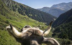 (c) Maren Krings, 2016 #marenkrings #tirol #kuh #alm #berge #austria #österreich #alpen #alps #alpinstyle #wald #zillertal #skiresort #sommer