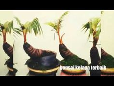 37 Best Bonsai Kelapa Images In 2020 Bonsai Plants Coconut