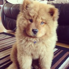 Chow chow puppy holy crap i want one so bad