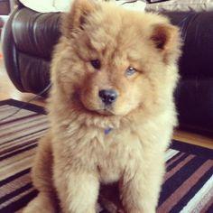 I want a chow chow puppy sooooo bad and my mom sayd no bc they shed :( I NEEEEEDDDD HIM IN MY LIFEEEEE