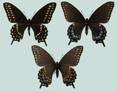 Papilio polyxenes asterius - Raising Butterflies--How to find and care for butterfly eggs and caterpillars