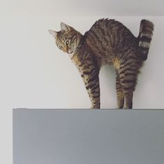 Daily fitness: sleep & stretch.  #luckythecat #love #cute #catsofsalzburg #unterfoehring #germany #cat #meow #ilovemypet #catlovers #lovekittens #instapet #catsagram #kitten #kitty #catstagram #kittycat #catsofinstagram #ilovemycat #catlove #catoftheday #furry #cats_of_instagram #cats #catlife #katze #katzenliebe #miezekatze #bestmeow