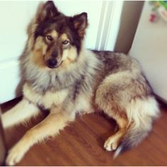 Native American Indian Dog <3 my house wouldn't be a home without one :)