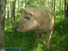 Raising pigs A-Z Pigs take 6 months to raise from birth to butcher weight. Buy piglets in the spring, butcher in the fall, let them happily forage during the green months (supplemented with vege garden, chicken eggs, leftovers, etc.)