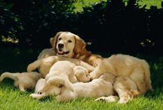 golden retriever #goldenretrieverpuppy