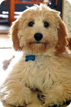 OMG... hey sweet baby.... I want you....Cavalier spaniel and poodle mix