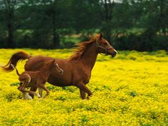 Arabian foal and mare running through buttercup flowers in Louisville, Kentucky