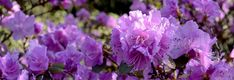 #banner #bloom #blossom #flower #head image #header #nature #plant #purple #purple rhododendron #rhododendron #spring
