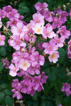 'Plaisanterie' roses