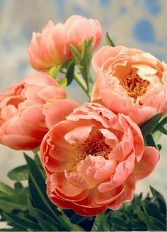 Coral color peonies