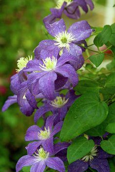 Clematis 'Bonanza' • Plants & Flowers • 99Roots.com