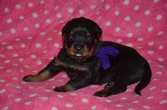 purple female #pachecorottweilers #puppy #familydog #rottweiler #cute