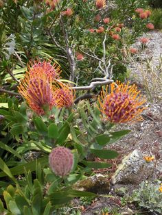Proteas, Scilly Isles