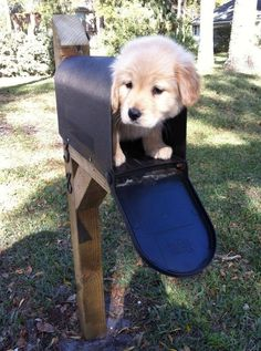 Need help with the mail?   Community Post: 60 Times Golden Retrievers Were So Adorable You Wanted To Cry