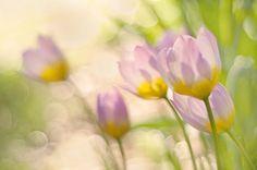 Tulip Bakeri by anitabower on Flickr. | pretty little flower