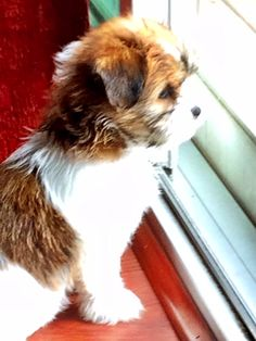 Shorkie Talk - Our 2nd shorkie puppy
