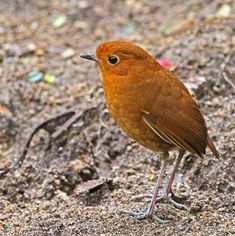 Rufous Antpitta -Bolivia, Colombia, Ecuador, Peru & Venezuela