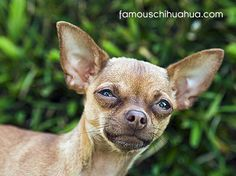 Different Types of Chihuahuas Dog Mixes Breeds