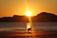 Kangaroos at Dawn - Cape Hillsborough - This Wild Life of Mine Wildlife Tourism, Wildlife Conservation, Komodo National Park, National Parks, Big Country, Coast Australia, Destin Beach, Wildlife Photography, Cape