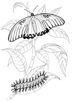 Image result for gulf fritillary lesson coloring