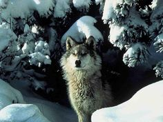 The gray wolf (Canis lupus) is considered as the one 'true' wolf species in North America, a new study suggests. How can this affect the Endangered Species Act? Wolf Photos, Wolf Pictures, Wolf Images, Lobo Wallpaper, Wolf Population, Canis Lupus, Lisa Gerrard, Coyote Hunting, Predator Hunting