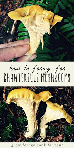 23 best chanterelle mushroom recipes images chanterelle mushroom rh pinterest com