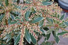 Pieris japonica 'Flaming Silver' has attractive foliage in the winter, with sweet-smelling blooms in spring. NOT on rebate list.