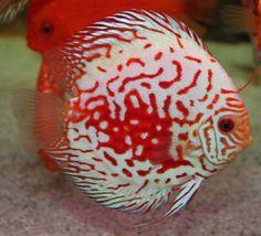 dalmatian discus fish - Google Search