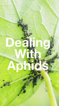 How to Deal with Aphids