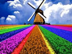 beautiful rows of flowers, great scene with windmill