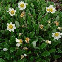 Dryas suendermannii / Rypelyng. Vintergrøn bunddække, 15 cm. Tæppedannende. Stenplante. Små grønne læderagtige ovale blade. Store hvide blomster i maj-juni. Dekorative uldne frøstande. Fuld sol og let skygge. Tåler en del tørke.