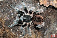 Brachypelma albopilosum, the Honduran curly haired tarantula.  Known for its calm temperament.