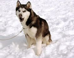 """Max"" from the movie Eight Below."