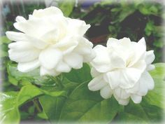 Jasmine- these look like gardenias, but they are lovely