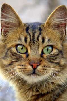 Tabby Cats bobcat, tiger cat, tobby cat, kitten - Tigers may look cute, but can you keep one as a pet? Here are your domestic tiger cat choices. Cute Cats And Kittens, Baby Cats, Kittens Cutest, Tiger Cat Breed, Dog Cat, Pretty Cats, Beautiful Cats, Chat Bizarre, Raining Cats And Dogs