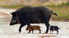 Feral hogs are a major problem throughout the United States, especially in the South. Recently Daymond Hughes addressed a feral hog problem on the former golf course in Radium Springs. Wild Boar Hunting, Hog Hunting, Feral Pig, Livestock, Cat Memes, Natural History, Mammals, Cute Animals, Hunting