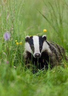 +Chobbit Hobbit's Nature Corner+ — pagewoman: Badger via wildlife u.k