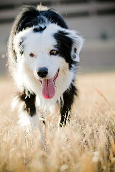 The ultimate working dog. Lovely, lively, active and intelligent Border Collie