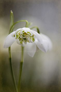 Imbolc: Simply Snowdrops by Jacki Parker.