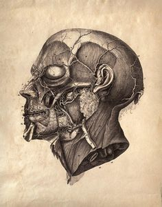 Vintage Anatomy. Facial Muscles