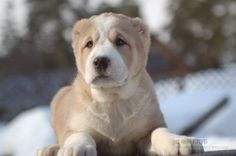 Central Asian Ovcharka puppy