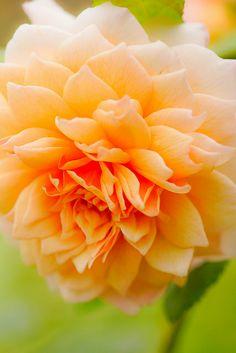 Peachy Dahlia ~ suavidad by Victor Muruet on Flickr*