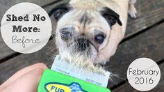 Pug Makes It Rain (Fur) - 'PL360 Shed No More' Before Video