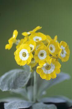 Yellow Primula auricula ..